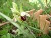 ophrys-de-provence.jpg
