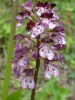 orchis-pourpre.jpg